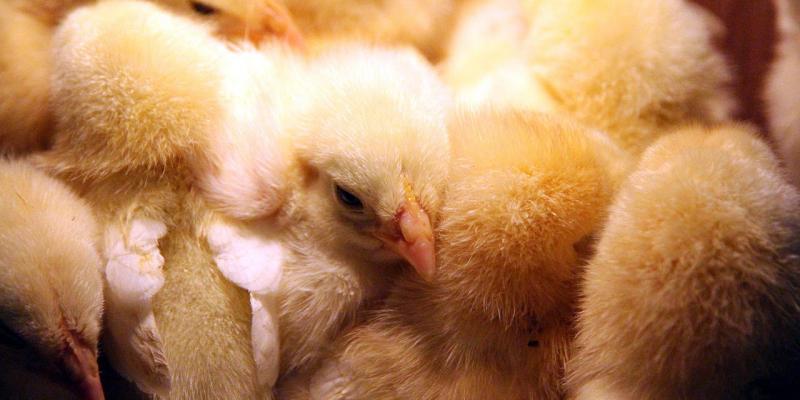 Пушистый чартер: из Мадрида на Урал прилетели 35 тысяч цыплят